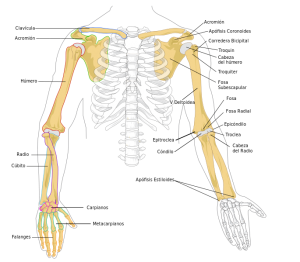 Figura 3.Esqueleto apendicular extremidad superior